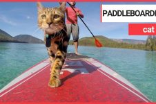 WATER-LOVING FELINE LOGAN SPENDS HIS DAYS PADDLEBOARDING