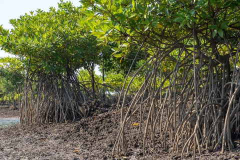 Mangroves With Their Complex Root Structure Which Sequesters CO2 Deeply Back Into The Ground. Photograph by Trevor Tunnington.