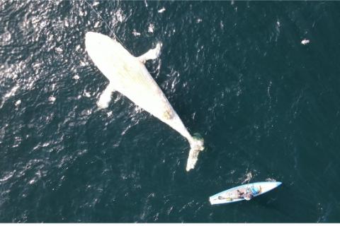 Screenshot 2021-08-02 at 16-31-01 Press release- dead humpback whale found by paddlebaorder - Press release- dead Humpback [...]